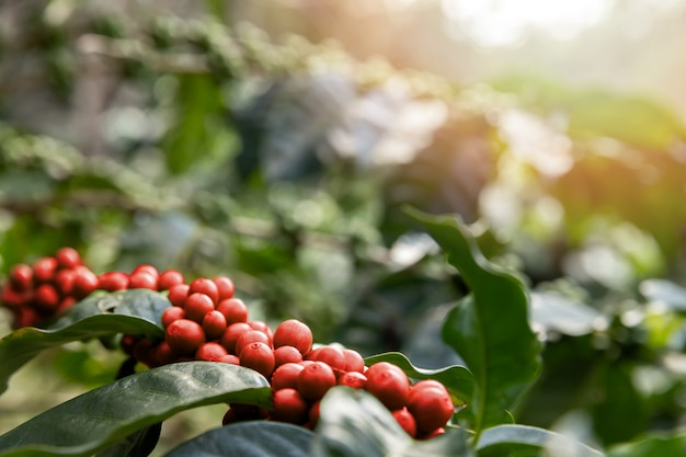 Coffee tree with red coffee berries on cafe plantation.