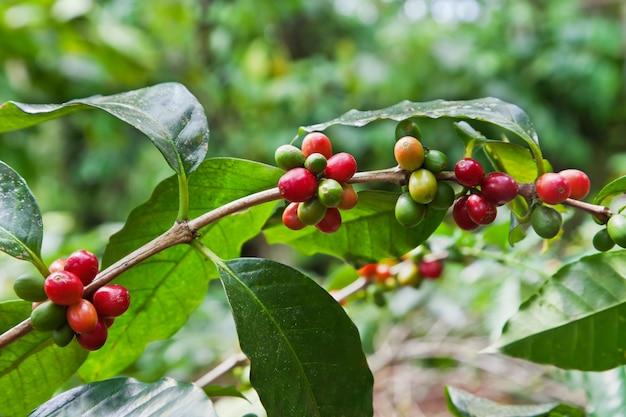 Coffee tree with ripe berries