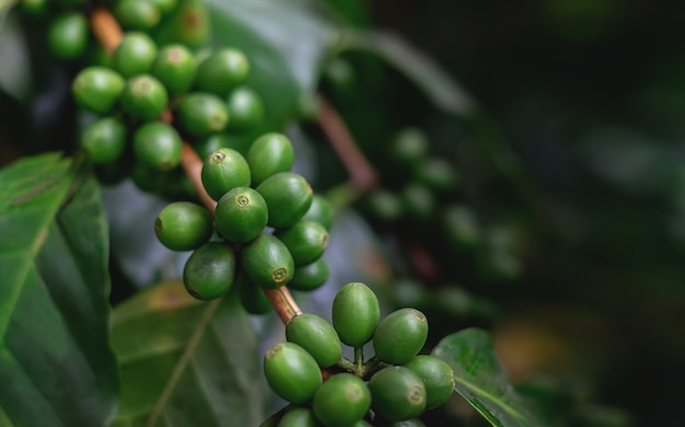 Coffee trees in the coffee garden.