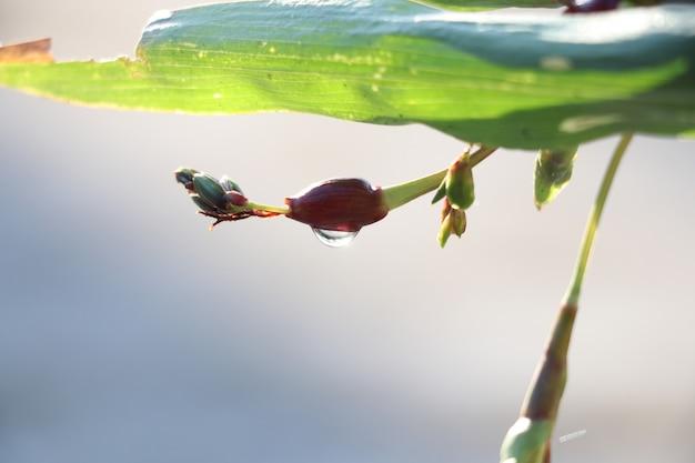 Coix слезы свежесть с waterdrops в природе завод фон