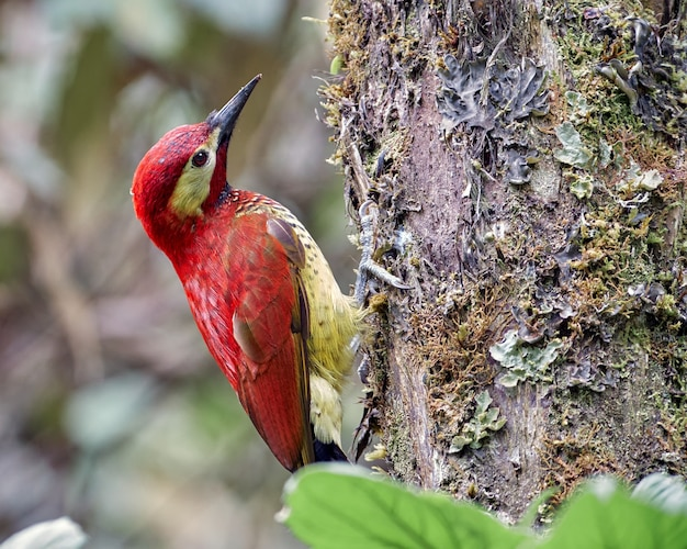 Colaptes rivolii багровый дятел замечательная красная птица ищет пищу на дереве в лесу