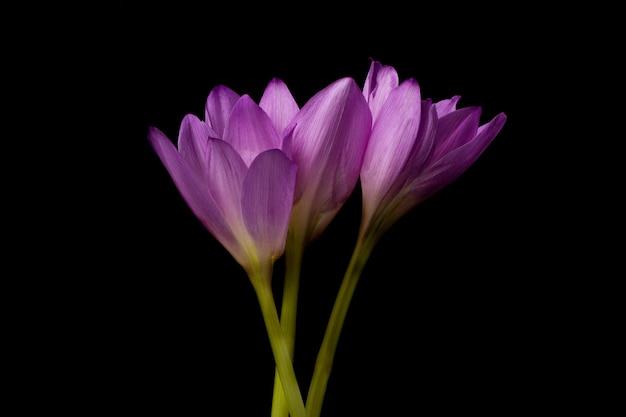 イヌサフラン。秋のクロッカス。暗い背景にイヌサフラン科の植物の紫の花。