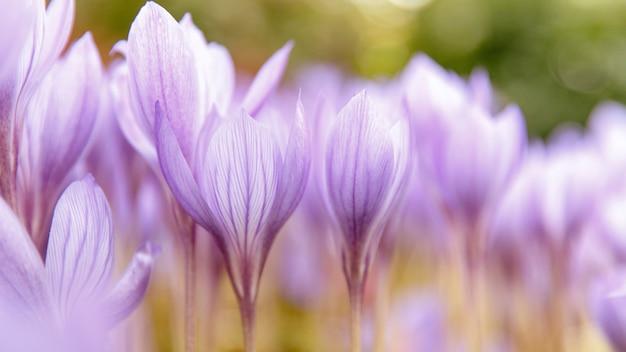 Крупный план colchicum autumnale / crocus - осенний фиолетовый цветок на поле, селективный мягкий фокус, вид снизу