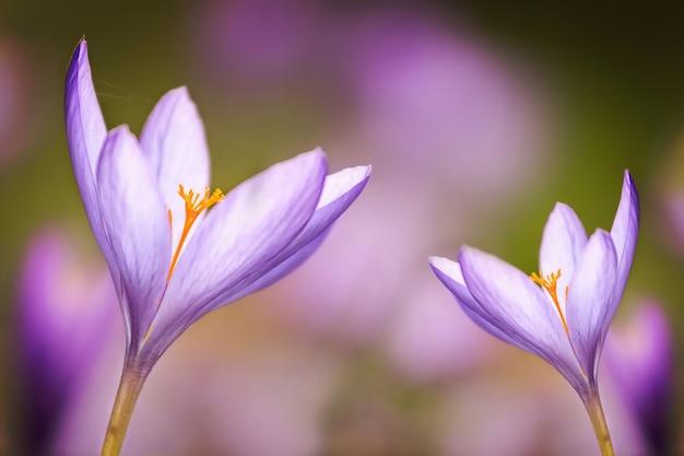 Хороший росистый цветок осенью (colchicum autumnale)