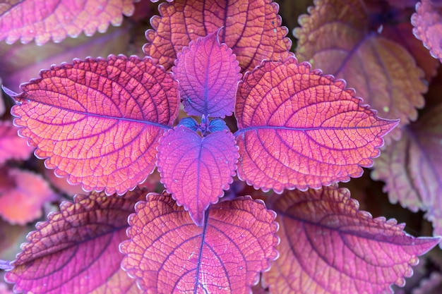 Coleus campfire is a summer annual treasured for its colorful.