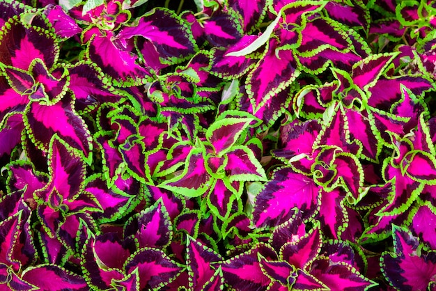 Coleus leaves also called painted nettle, flame nettle