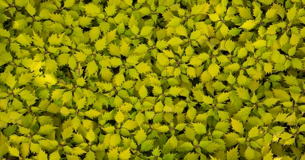 Coleus - wizard scarletnatural plant background. abstract texture.