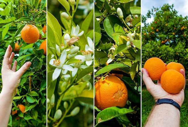 Collage orange garden with rows of orange trees harvest of sweet juicy oranges