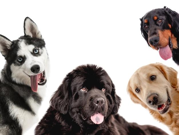 Коллаж с собаками, смотрящими в камеру, изолированные на белом фоне