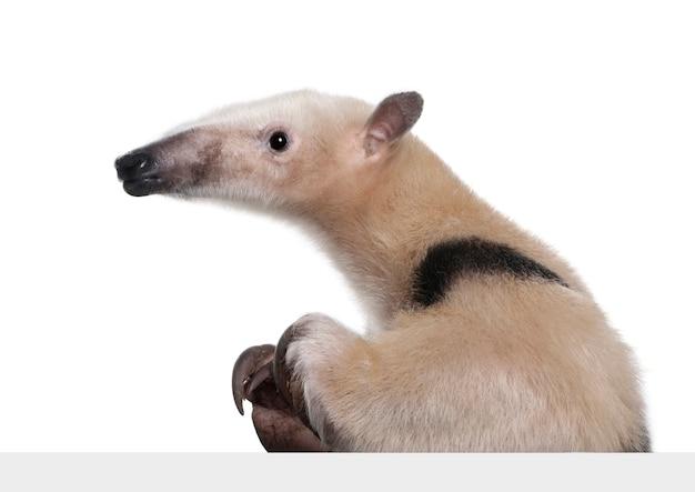 灰色のブランクパネル-分離された白のtamandua tetradactylaの後ろから出て行く襟付きアリクイ