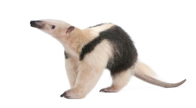 襟付きアリクイ-tamandua tetradactyla、白で分離