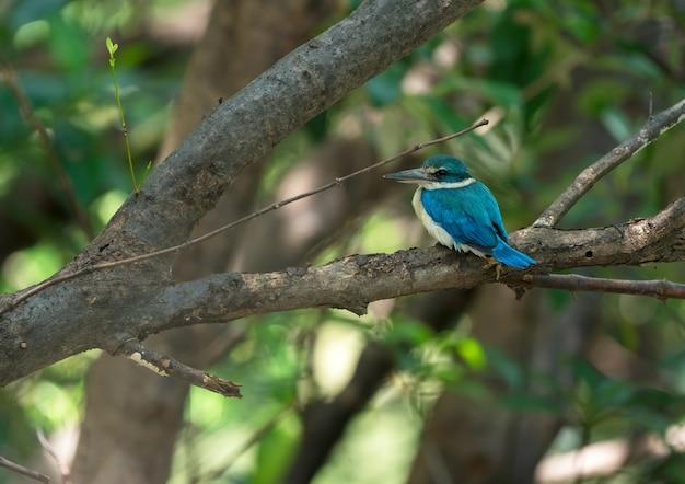 タイの木の枝にとまるナンヨウショウビン