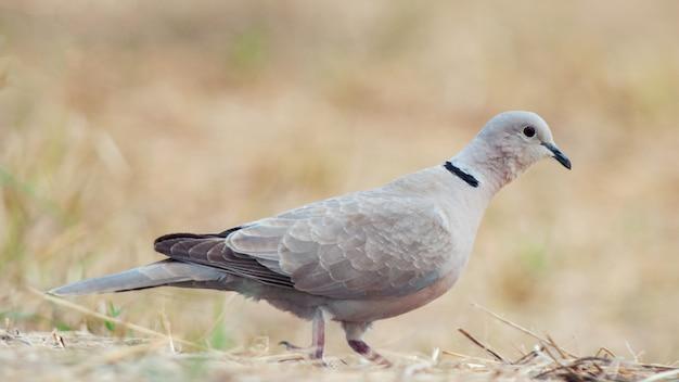 Ошейниковый голубь, streptopelia decaocto, сидит на земле