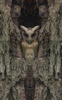 Collared scops owl in a hollow tree, (retouch photo)