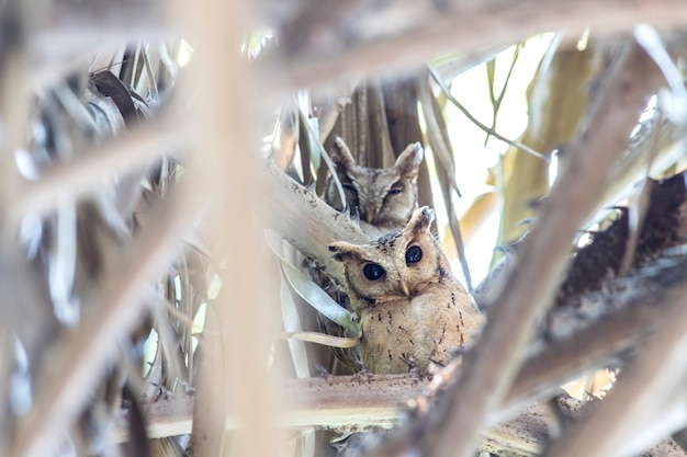 Collared scops owl (otus lettia) looking at in nature