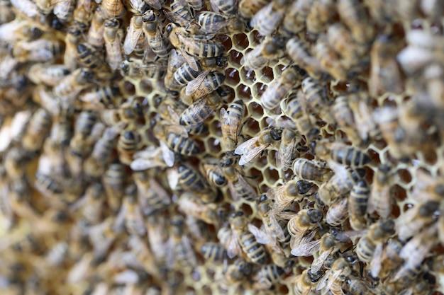Собранная пчелиная пыльца помещается в концепцию пчеловодства в виде сот.