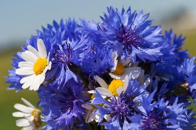 Собран букет из синих полевых цветов василька