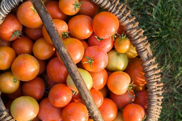 Собран в старой корзине новый урожай красных томатов, созревшие помидоры в поле после получения урожая помидоров и овощей