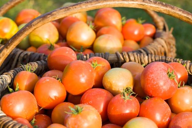 Собран в старую корзину новый урожай красных помидоров