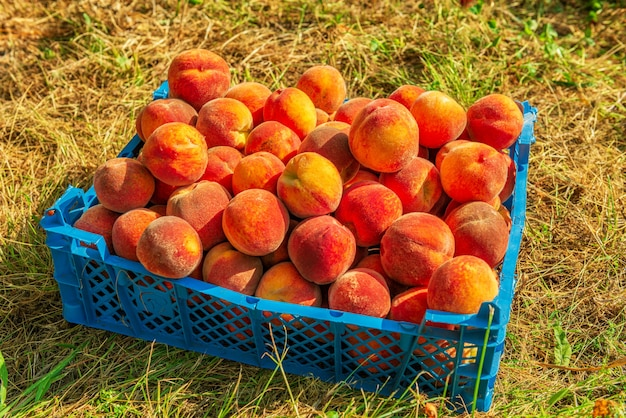 Collected ripe juicy fruits peaches
