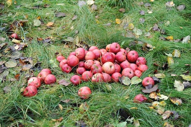 Сбор опавших осенних яблок - красные яблоки на траве