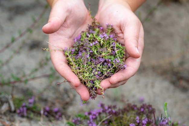 Collecting wild thyme flowers outdoors.