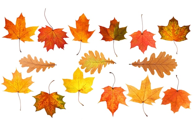 Collection of beautiful autumn leaves isolated on white background