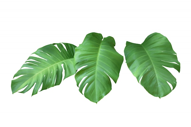 Collection of green monstera leaves