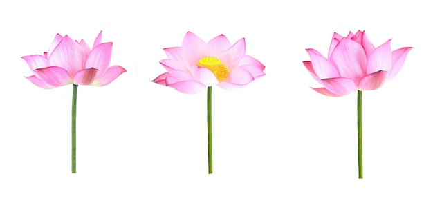 Collection of lotus flowers isolated on white background