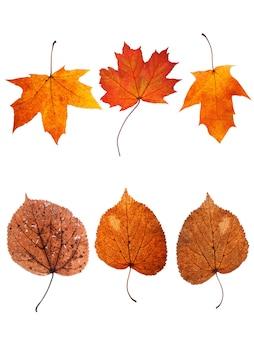 白い背景で隔離の紅葉のコレクション