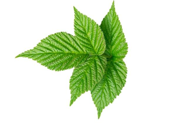 정원의 컬렉션은 흰색 바탕에 나뭇잎. 고립 된 녹색 잎
