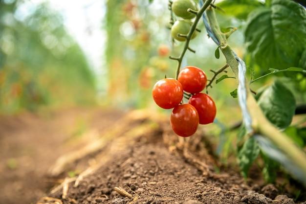 農場の温室での有機品質の完熟トマトのコレクション。