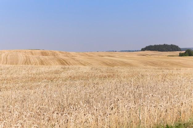작물 수확 익은 노란 호밀 작은 피사계 심도 호밀 작물 농업 분야의 수집