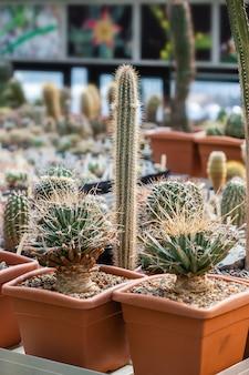 다른 냄비에 다양한 열대 선인장과 즙이 많은 식물의 컬렉션입니다. 온실 정원에 화분에 심은 선인장