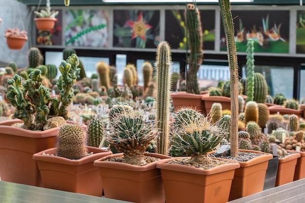 さまざまな鉢植えのさまざまな熱帯サボテンと多肉植物のコレクション。温室の庭で鉢植えのサボテン
