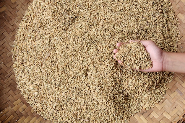 A collection of rice seeds in the hand