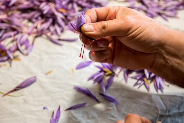 Colleting the style and stigma from saffron