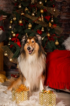 Collie dog sitting in the room against the background of christmas decorations