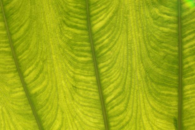 葉のディテール(colocasia gigantea /ゾウの巨大な耳/インディアンタロイモ)