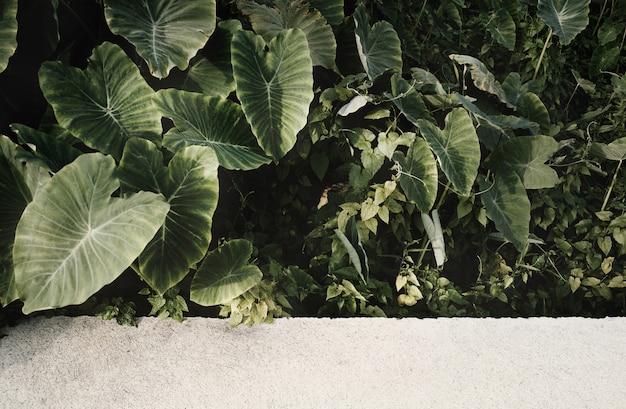 新鮮な緑の葉(colocasia gigantea /ゾウの巨大な耳/インディアンタロイモ)コンクリートの舗装。コピースペースを持つ自然な背景。