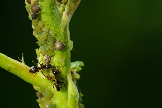 A colony of aphids and ants on garden plants