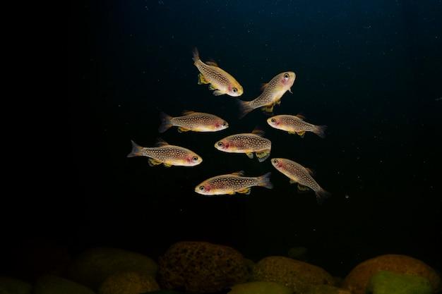 Colony of danio margaritatusrasbora galaxy tropical fish in aquarium black background