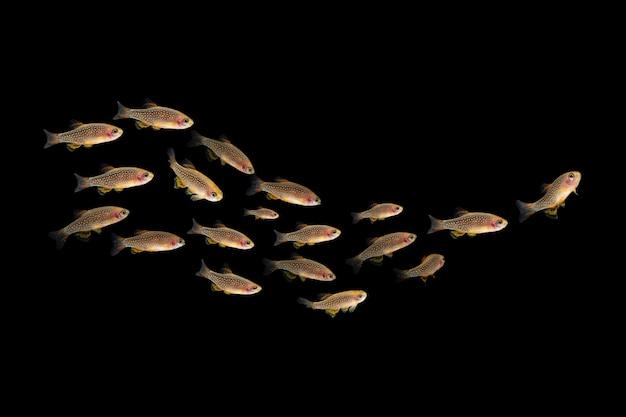 Colony of danio margaritatusrasbora galaxy tropical fish in aquarium dark background