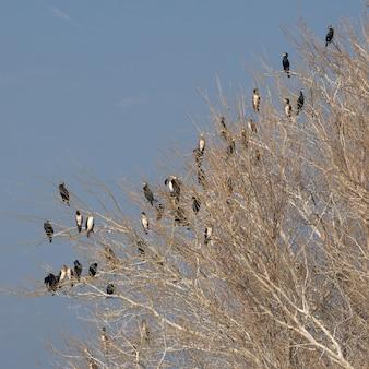 木の枝に座っている鵜のコロニー