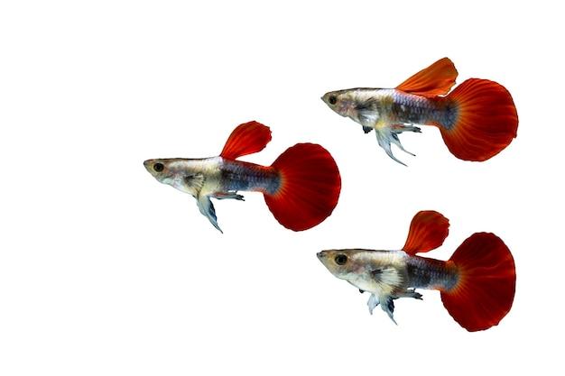 Колония рыб гуппи, изолированные на белом фоне