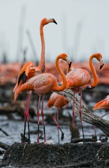 カリブ海のフラミンゴのコロニー