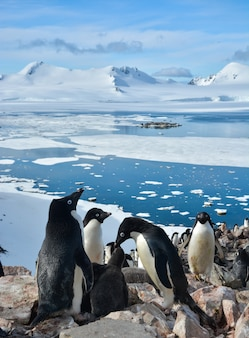 Colony of penguins in antarctica with the frozen sea and mountains of ice.