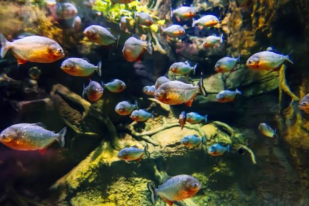 Colony of predatory piranha fish swims underwater