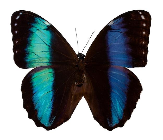 色の蝶、クリッピングパス、morphopatroclusと白い背景で隔離。