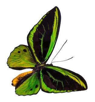 カラーバタフライ、クリッピングパス、ornithopterapriamusと白い背景で隔離。